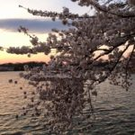 Cherry Blossom Pedicab Tours