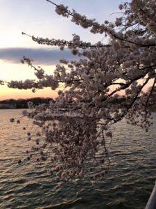 Cherry Blossom Pedicab Tours
